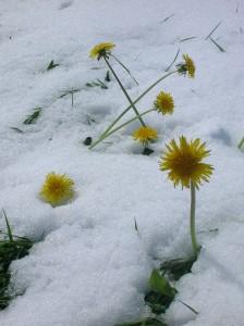 2 courrier Cette année les perce neige furent insolites. Marie