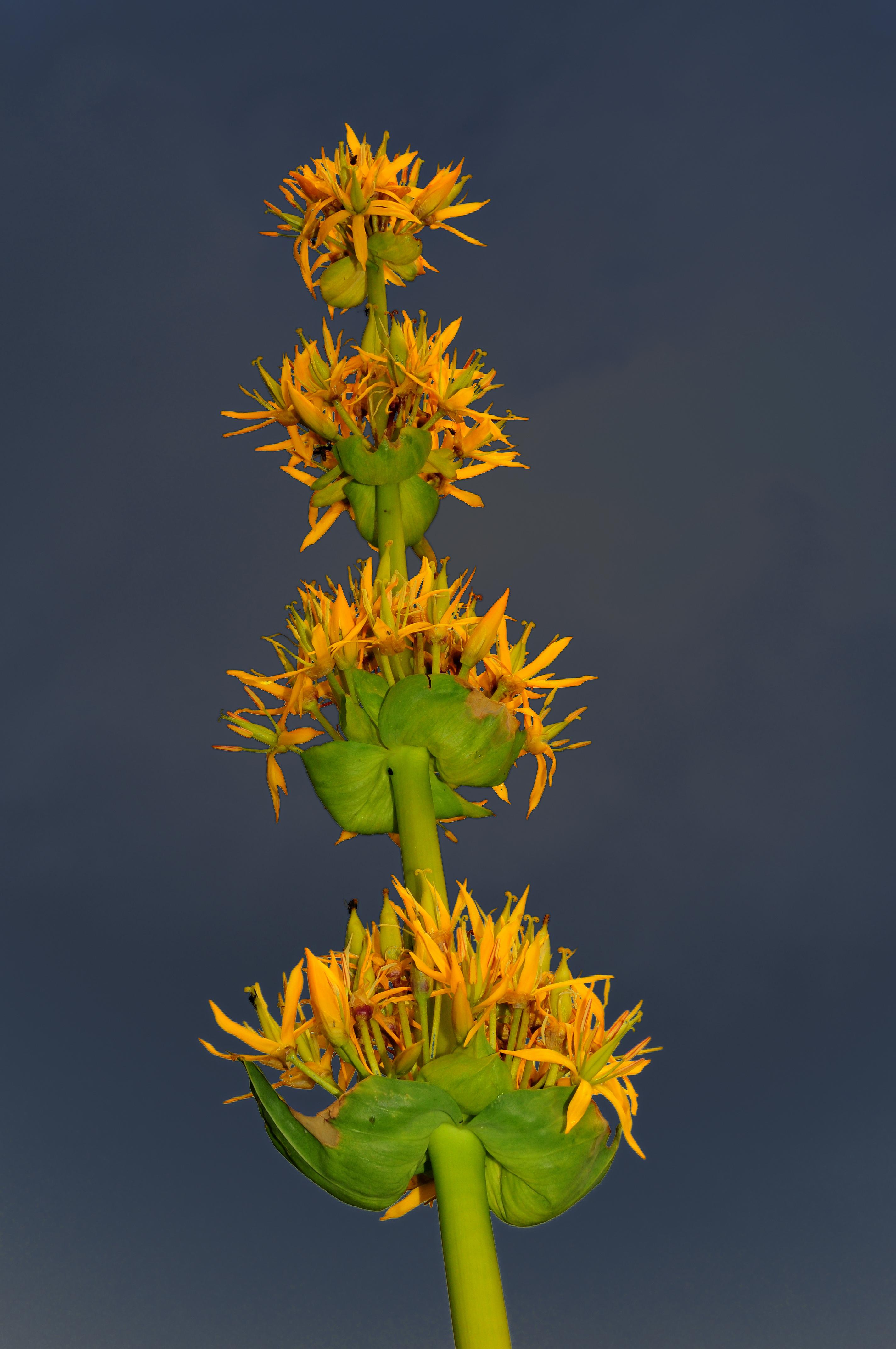 Plante sauvage la gentiane jaune et sa recette de for Plante jaune